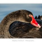 Cygne noir (Cygnus atratus - Black Swan) en train de nettoyer ses plumes (toilettage du plumage) - Saison : Automne - Lieu : Marais du Crotoy, Le Crotoy, Baie de Somme, Somme, Picardie, France