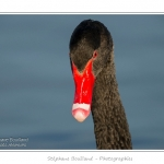 Cygne noir (Cygnus atratus - Black Swan) - Saison : Automne - Lieu : Marais du Crotoy, Le Crotoy, Baie de Somme, Somme, Picardie, France