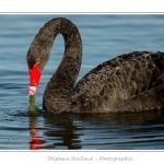 Cygne noir (Cygnus atratus - Black Swan) en train de manger des plantes aquatiques pour se nourrir.  - Saison : Automne - Lieu : Marais du Crotoy, Le Crotoy, Baie de Somme, Somme, Picardie, France