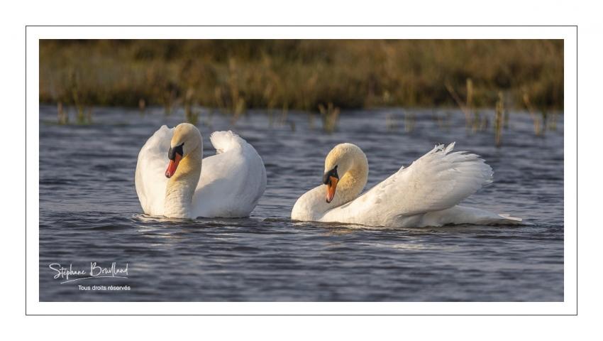 Cygne tuberculé (Cygnus olor - Mute Swan)