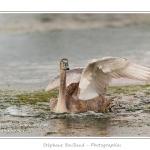 Atterissage sur l'étang - Saison : été - Lieu : Marais du Crotoy, Le Crotoy, Baie de Somme, Somme, Picardie, France