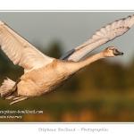 Cygne juvénile en vol - Saison : été - Lieu : Marais du Crotoy, Le Crotoy, Baie de Somme, Somme, Picardie, France