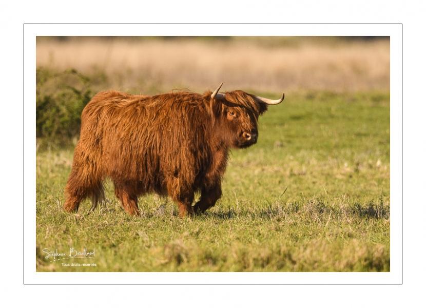 Vaches écossaises Higland Cattle en écopâturage au marais du Crotoy