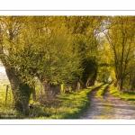 chemin agricole bordé de saules dans les renclôtures
