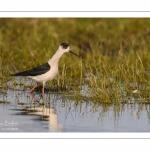 Échasse blanche (Himantopus himantopus - Black-winged Stilt) au marais du Crotoy