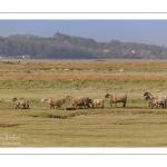 Les moutons d'estran au printemps, brebis accompagnées de leurs agneaux