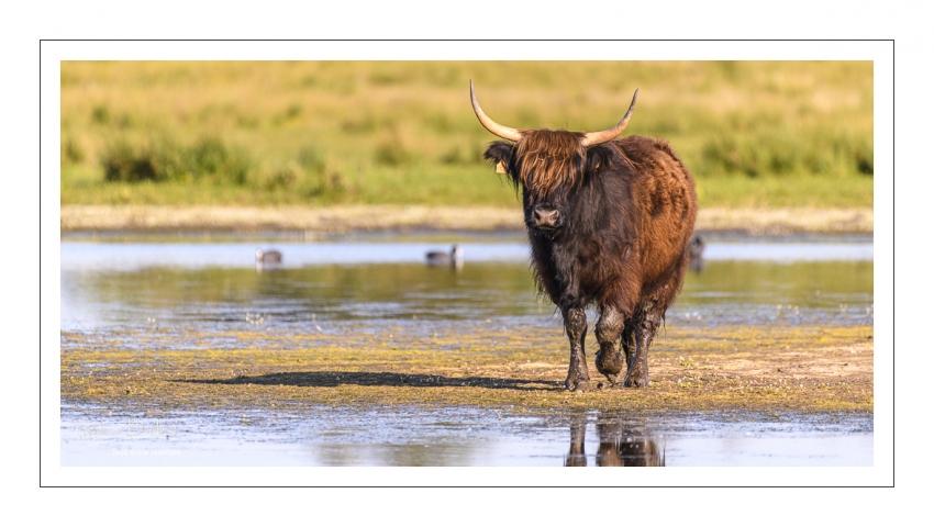 Vache écossaise Highland Cattle dans le marais