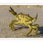 crabe enragé, crabe vert (Carcinus maenas)