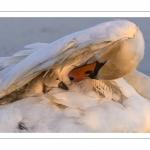 Cygnons au marais du Crotoy