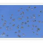 Vol de Bécasseaux variables (Calidris alpina - Dunlin)