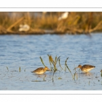 Barge à queue noire (Limosa limosa - Black-tailed Godwit)
