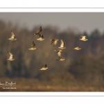 Chevalier gambette (Tringa totanus - Common Redshank)