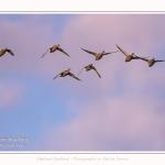 Canards colvert en vol, la passée du matin. Saison : été - Lieu : Le Crotoy, Baie de Somme, Somme, Hauts-de-France, France.