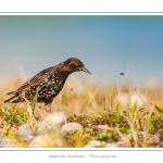 Étourneau sansonnet (Sturnus vulgaris - Common Starling) dans les galets du hâble d'Ault - Saison : été - Lieu : Hâble d'Ault, Cayeux-sur-mer / Ault,Somme, Picardie, France