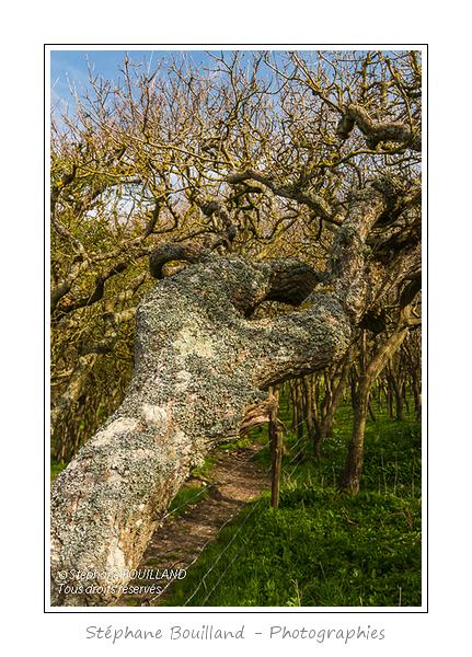 Le Bois de Rompval, propriété du Conservatoire du Littoral, classé, connu pour ses arbres tortueux.  Saison : Printemps - Lieu : Mers-les-bains / Bois de Cise, Somme, Côte Picarde, Picardie, France.