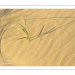 Oyat dans les dunes