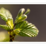 Jeunes feuilles de hêtre au printemps