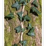 Lierre sur un tronc d'arbre
