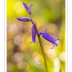 Jacinthe des bois, Jacinthe sauvage, muguet bleu (Hyacinthoides non-scripta)