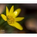 Ficaire fausse-renoncule (Ranunculus ficaria)