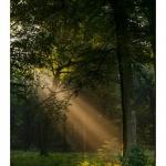 Rayon de lumière à travers les branches d'arbre et la brume matinale en forêt de Crécy - Saison : été - Lieu : Forêt de Crécy, Crécy-en-Ponthieu,  Somme, Picardie, France.