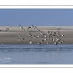 Passage d'Huîtriers-pies (Haematopus ostralegus - Eurasian Oystercatcher) en vol délogés par la marée montante