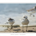 saison : été - Lieu : Réserve naturelle, proximité du parc ornithologique du Marquenterre, Saint-Quentin-en-Tourmont, Baie de Somme, Somme, Picardie, France.