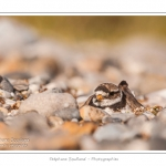 Grand gravelot nichant dans les galets au hâble d'Ault. Le nid est une simple cavité dans les galets et abrite deux oeufs. Saison : été - Lieu : Le Hâble d'Ault, Baie de Somme,Ault, Cayeux-sur-mer,Somme, Picardie, France