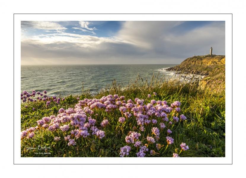 Arméries maritimes (Armeria maritima ou gazon d'Espagne) en fleurs au cap Gris-Nez