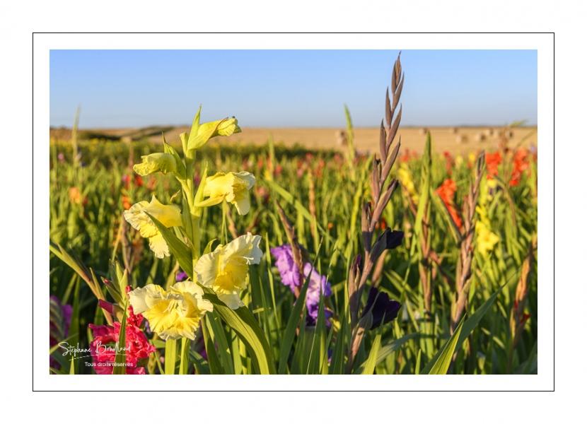 Champ de Glaïeuls (Gladiolus)
