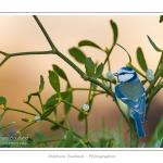 Mésange bleue (Cyanistes caeruleus - Eurasian Blue Tit) sur une branche de gui (Viscum album). Saison : Hiver - Lieu : Marcheville, Somme, Picardie, France