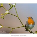 Rougegorge familier (Erithacus rubecula - European Robin) sur une branche de gui (Viscum album). Saison : Hiver - Lieu : Marcheville, Somme, Picardie, France