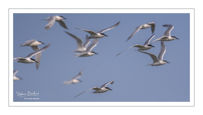 Sterne caugek (Thalasseus sandvicensis - Sandwich Tern) en vol