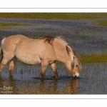chevaux de race Fjord et poulain