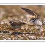 Petit Gravelot (Pluvier petit-gravelotCharadrius dubius - Little Ringed Plover)
