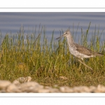 Chevalier aboyeur (Tringa nebularia - Common Greenshank)