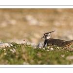 Vanneau huppé (Vanellus vanellus - Northern Lapwing)