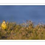 Bergeronnette printanière (Motacilla flava - Western Yellow Wagtail)