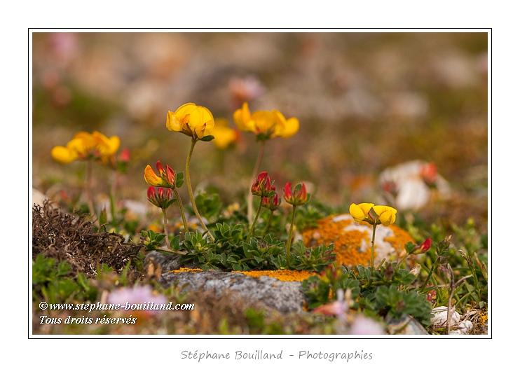Lotier corniculé (Lotus corniculatus L.) - Saison : Printemps - Lieu : Hâble d'Ault, Cayeux-sur-mer / Ault, Baie de Somme, Somme, Picardie, France