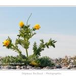 """Glaucienne jaune, ou pavot cornu (Glaucium flavum) en fleur - Série """" La flore du Hâble d'Ault"""" - Saison : Printemps - Lieu : Hâble d'Ault, Ault / Cayeux-sur-mer, Baie de Somme, Côte Picarde, PNR Picardie Maritime, Somme, Picardie, France"""