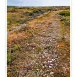 Le hâble d'Ault, fleuri par la Vipérine et le Serpolet en fin de printemps - Saison : Printemps - Lieu : Hâble d'Ault, Cayeux-sur-mer / Ault, Baie de Somme, Somme, Picardie, France