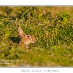 Ces lapins passent leur temps à courrir les uns après les autres, à manger, faire leur toilette ou faire la sieste au soleil. Saison : Printemps - Lieu : Hâble d'Ault, Cayeux-sur-mer / Ault, Baie de Somme, Somme, Picardie, France