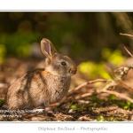 Le hâble d'Ault abrite une grande population de lapins. Si les adultes sont farouches et ne peuvent être observés que de loin, les jeunes lapereaux ressortent rapidement du terrier et viennent faire la sieste au soleil ou grignoter l'herbe. Saison : Printemps - Lieu : Hâble d'Ault, Cayeux-sur-mer / Ault, Baie de Somme, Somme, Picardie, France