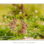 Lapin de garenne ou lapin commun (Oryctolagus cuniculus) - Saison : Printemps - Lieu : Hâble d'Ault, Cayeux-sur-mer / Ault, Baie de Somme, Somme, Picardie, France