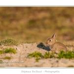 Lapereaux et lapins au Hâble d'Ault - Saison : Printemps - Lieu : Hâble d'Ault, Cayeux-sur-mer / Ault, Baie de Somme, Somme, Picardie, France