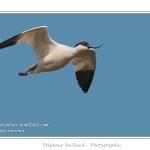 Avocette élégante (Recurvirostra avosetta - Pied Avocet) - Saison : Printemps - Lieu : Hâble d'Ault, Cayeux-sur-mer / Ault, Baie de Somme, Somme, Picardie, France