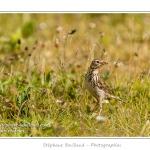 Pipit farlouse (Anthus pratensis - Meadow Pipit) -Saison : Printemps - Lieu : Hâble d'Ault, Cayeux-sur-mer / Ault, Baie de Somme, Somme, Picardie, France