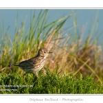 Pipit farlouse (Anthus pratensis - Meadow Pipit) - Saison : Printemps - Lieu : Hâble d'Ault, Cayeux-sur-mer / Ault, Baie de Somme, Somme, Picardie, France