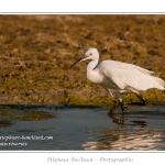 Les oiseaux de la Baie de Somme - Saison : été - Lieu : Réserve naturelle du Hâble d'Ault, Baie de Somme, Cayeux-sur-mer, Ault, Somme (80), Picardie, France