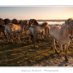 Les chevaux Henson, race créée en Baie de Somme, sont utilisés pour entretenir les zones humide du fait de leur rusticité. Saison : Hiver - Lieu : Hâble d'Ault entre Ault et Cayeux-sur-mer, Baie de Somme, Somme, Picardie, France, Côte Picarde, Picardie Maritime